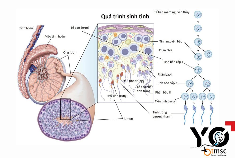 Tình trùng sinh ra và tồn tại bên trong tinh hoàn